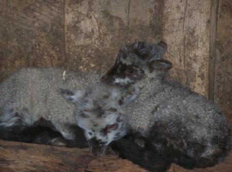 FoxMeadow-Shetland-Sheep